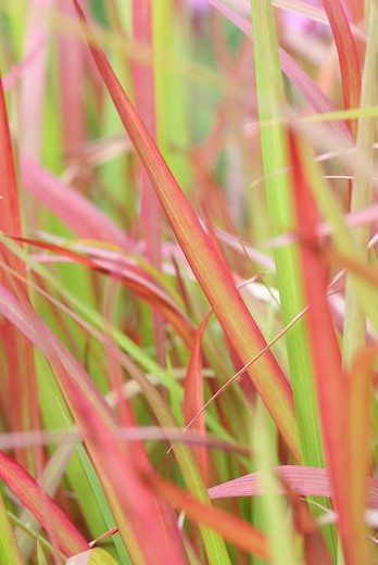 Perennials in autumn: Imperata
