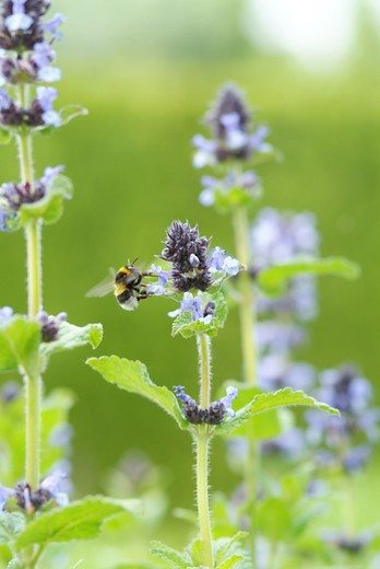Perennial attracting bees: Nepeta