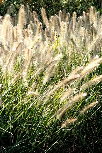 Ornamental grasses rustle in the romantic garden image