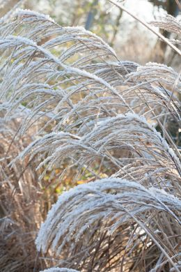 Ornamental grasses: silhouettes in the garden image