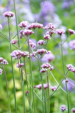 Flowering garden plants? Perennials provide years of pleasure image