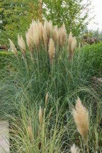 Pampas grass enlivens any garden