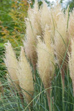 Pampas grass enlivens any garden image