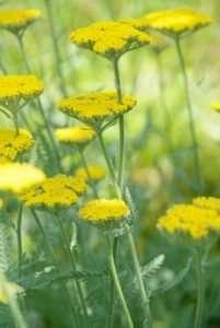 Perennials for a sunny garden: Artemisia, Lychnis and Achillea