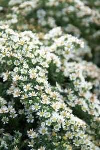 Michaelmas daisies: Aster ericoides 'Snowflurry' and Aster lateriflorus 'Horizontalis'