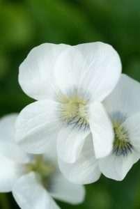 Spring-flowering perennials: Vinca, Brunnera and Viola