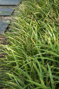 Evergreen groundcovers