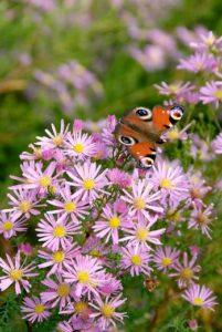 Nectar plant butterflies