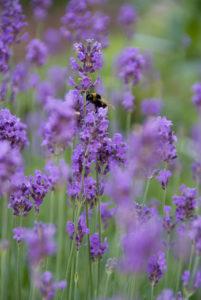 Nectar plants garden