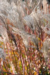 Ornamental grasses garden