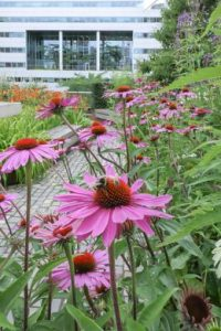 Perennials for living roofs