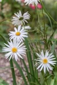 Marguerites: summery pearls